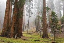 Секвойя-деревья в Секвойе — стоковое фото