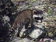 Baby Raccoon in Usa — Stock Photo