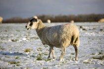 Pecore al pascolo in inverno — Foto stock
