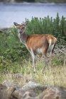 Постоянный олень в высокой траве — стоковое фото