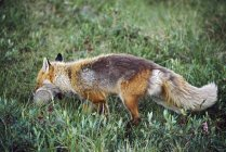 Renard de manger des proies — Photo de stock