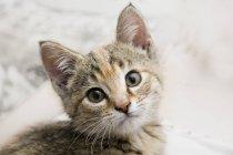 Gato doméstico, olhando para a câmera — Fotografia de Stock