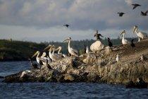 Pélicans blancs — Photo de stock