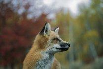 Red Fox; Монтана, США — стоковое фото