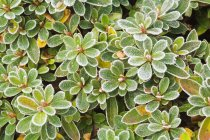 Frost On Rhododendron Leaves — Stock Photo