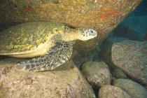 Grande tartaruga marina verde — Foto stock