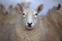 Schafe; county antrim, nördliches irland — Stockfoto