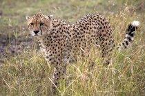 Гепард в Масаї Мара Національний заповідник — стокове фото