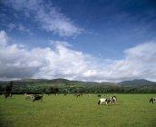 Fresian Vieh am Mitchelstown — Stockfoto