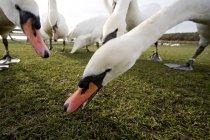 Cisnes blancos comiendo - foto de stock