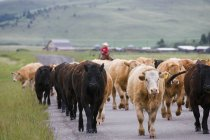Young Cowboy Herding Cattle — Stock Photo