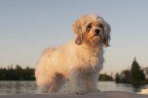 Perro de pie en el agua - foto de stock