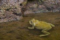 Жаба пустыни Сонора — стоковое фото