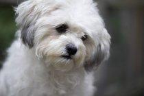 Портрет білу собачку — стокове фото