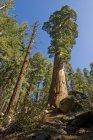 Деревья национального парка Секвойя — стоковое фото