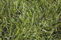 Fond de pelouse pour le bluegrass CloseUp — Photo de stock