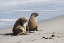 Leoni marini australiani — Foto stock
