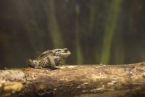 Toad On A Log — Stock Photo