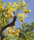 Trauben von Orangen am Baum — Stockfoto