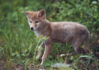 Coyote Puppy in tall grass — Stock Photo