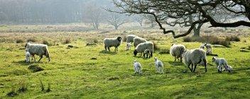 Pascolo ovino in un pascolo — Foto stock
