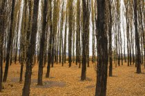 A Small Forest Of Alamo Trees In Autumn, With Golden Leaves Carpeting The Ground; Potrerillos, Mendoza, Argentina — Stock Photo