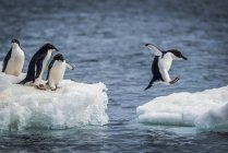 Penguins standing on ice over sea water, while one of them jumping among ice pieces — Stock Photo