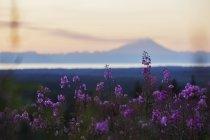 Поле із кропиви (Chamaenerion вузьколистий) на заході; Аляска, Сполучені Штати Америки — стокове фото