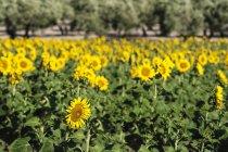 Vista del campo di girasoli su sfondo sfocato durante il giorno — Foto stock