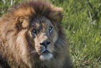 Leão deitado no chão com grama e olhando para a câmera — Fotografia de Stock