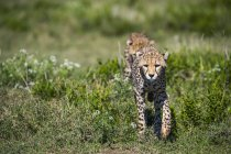 Gepards marchant d'affilée sur herbe verte pendant la journée — Photo de stock