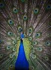 Павлин Показано пышные перья на хвосте; Виктория, Британская Колумбия, Канада — стоковое фото