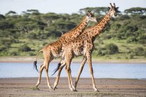 Giraffes walking on sand beach against water with trees on background — Stock Photo