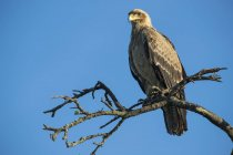 Орел, сидячи на блакитному небі twig денний час — стокове фото