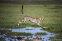 Side view of Gepard jumping over water at field with green grass — Stock Photo