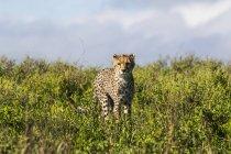 Gepard stagliandosi in piante verdi e rivolto verso l'obiettivo — Foto stock