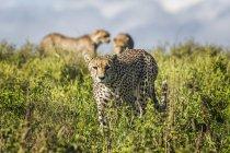 Gepards debout dans les hautes herbes pendant la journée — Photo de stock