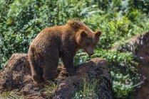 Pie de oso pardo en la tierra rodeado de plantas durante el día - foto de stock