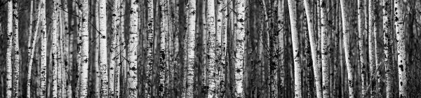 Birch Trees at forest; Thunder Bay, Ontario, Canada — Stock Photo
