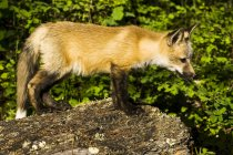 Side view of fox walking over ground against plants during daytime — Stock Photo