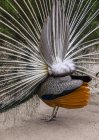 A Peacock Putting On A Mating Display, Seen From Behind; Victoria, British Columbia, Canada — Stock Photo