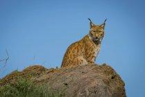 Lynx seduta sulla roccia e guardando la fotocamera durante il giorno — Foto stock