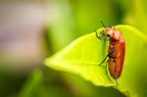 Red insect eating plant on green blurred background — Stock Photo