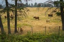 Gado pastando no campo com árvores contra vedação durante o dia — Fotografia de Stock