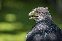 Seitenansicht der Adler mit offenen Schwanz auf grün Hintergrund verschwommen, tagsüber — Stockfoto