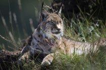 Lynx sdraiato a terra in erba alta e guardando lontano durante il giorno — Foto stock