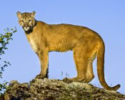 Lioness standing on stone and looking at camera during daytime — Stock Photo