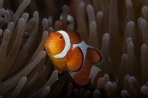 Вид сбоку оранжевый и белый цветных рыб, плавание под водой — стоковое фото