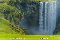 Un troupeau de moutons broutant dans un champ verdoyant à la cascade de Skogafoss ; Skoga, Islande — Photo de stock