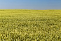 An unripe green wheat field with blue sky, East of Calgary; Alberta, Canada — Stock Photo